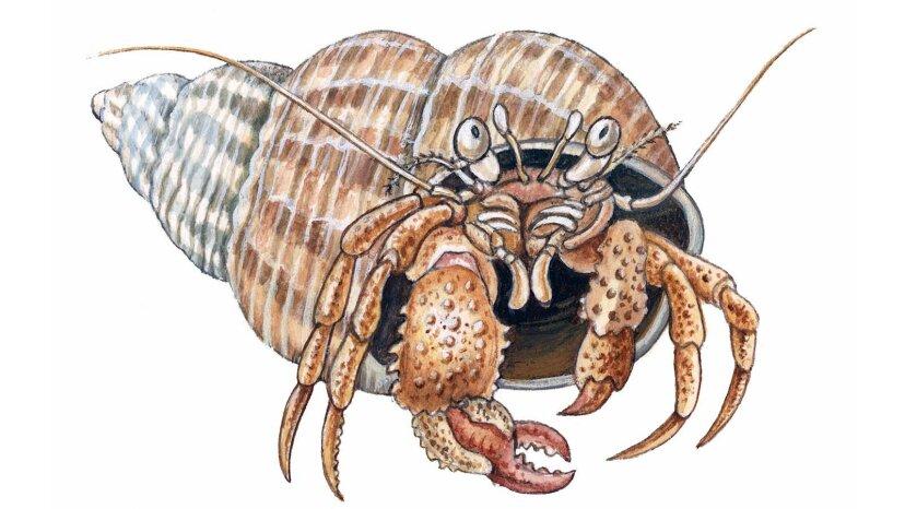 Einsiedlerkrebse: Kleine Krebstiere, die in den Mobilheimen der Natur leben