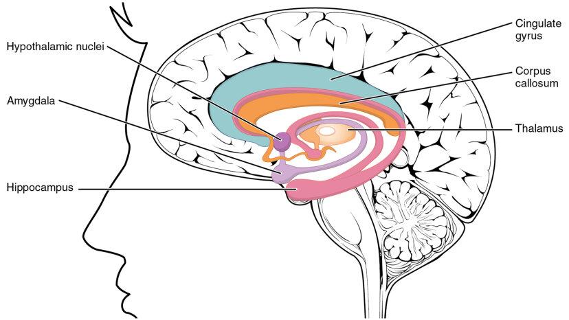 Ohne Hippocampus ist Ihr Langzeitgedächtnis Geschichte