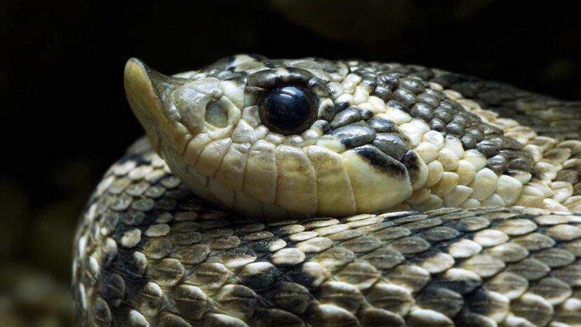 Las serpientes nariz de cerdo se hacen muertas como zarigüeyas