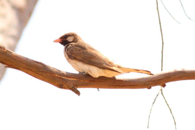ミツオシエの鳥は人間を蜂の巣にまっすぐに導く