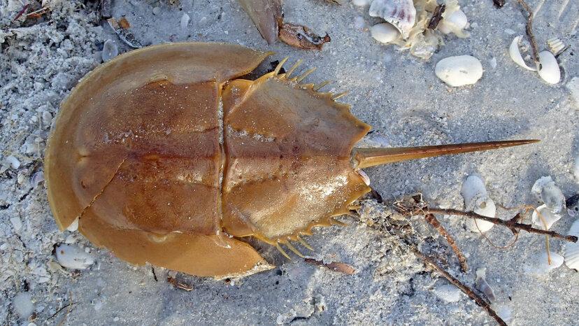Horseshoe crab, endangered species