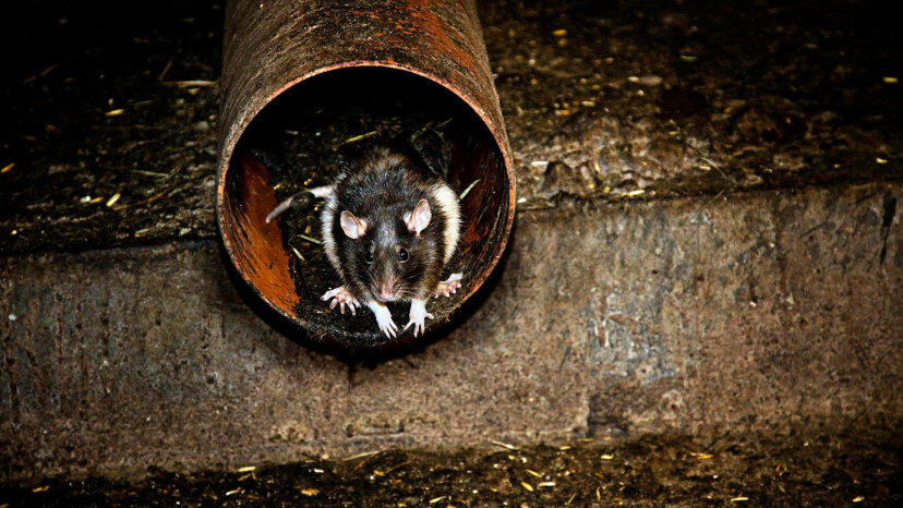 rat in pipe