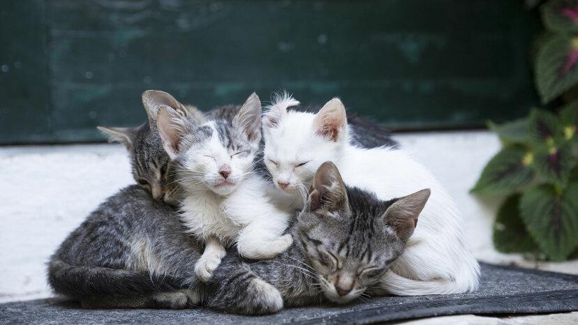 タキシード、トラ猫、三毛猫:これらの飼い猫を区別する方法