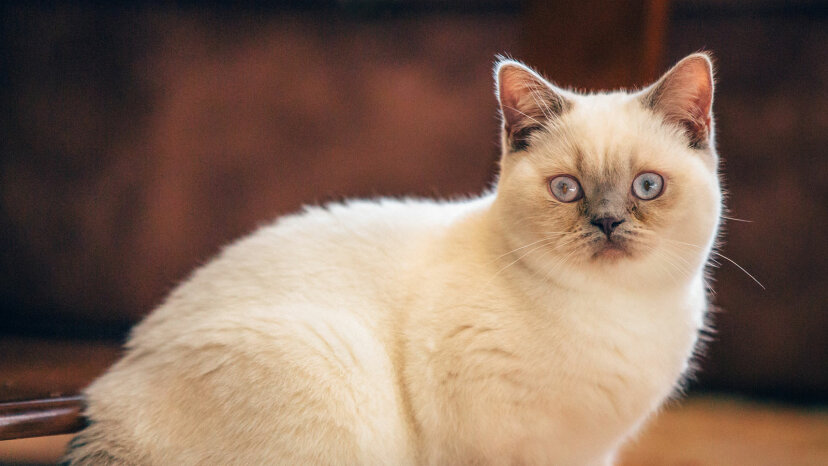 British shorthair lilac colorpoint kitten.