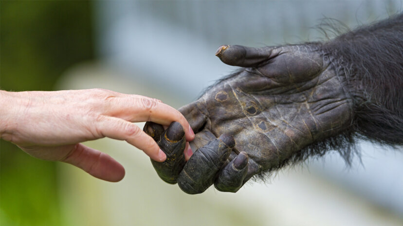 Chimp and human