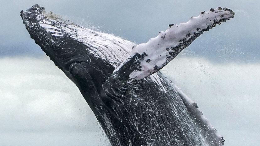 Les baleines à bosse ont fait un retour incroyable après l'extinction