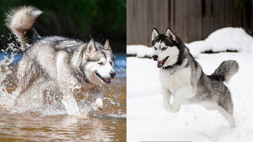 Was ist der Unterschied zwischen einem Alaskan Malamute und einem Husky?