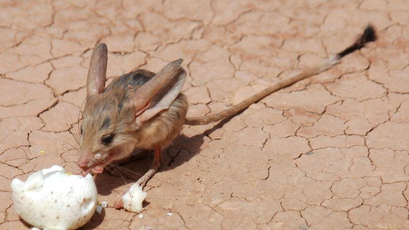 耳の長い、ホッピングするトビネズミは砂漠で最もかわいい住人です