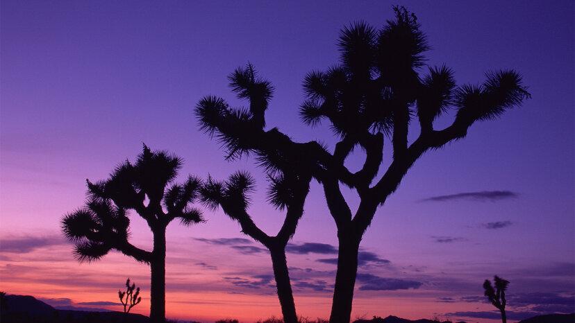 El icónico Joshua Tree está en peligro de extinción