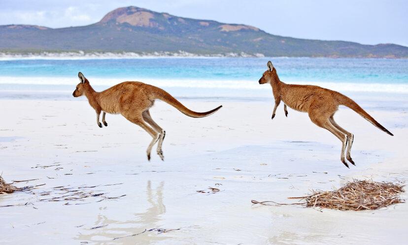 なぜカンガルーは飛び跳ねるのですか?