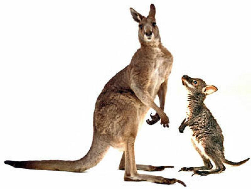 ワラビーとカンガルーの違いは何ですか?
