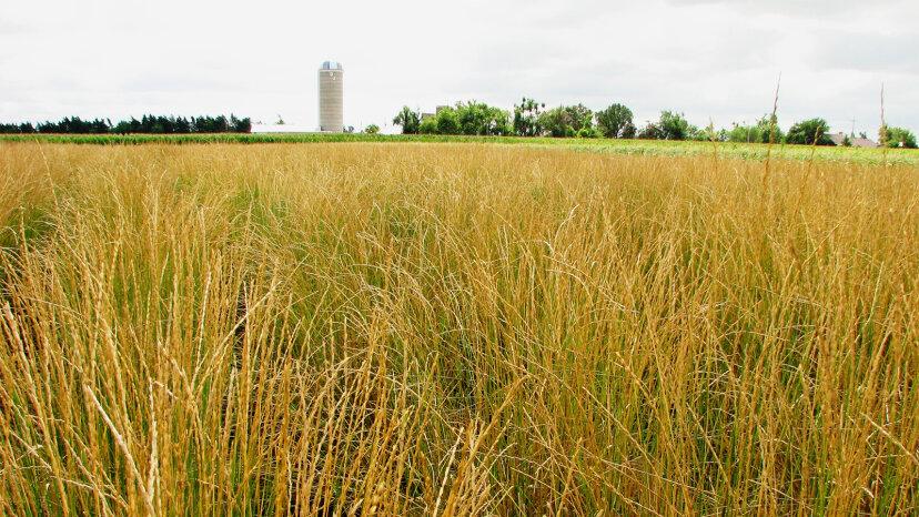 Kernza:世界に食料を供給したい環境に優しい小麦作物