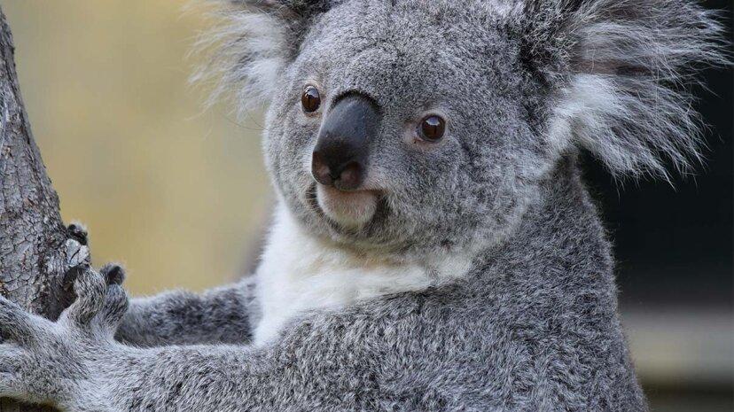 koala, chlamydia