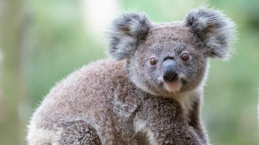コアラについての8つのかわいい事実