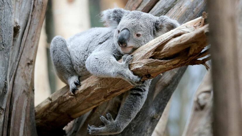 koala in zoo, Germany