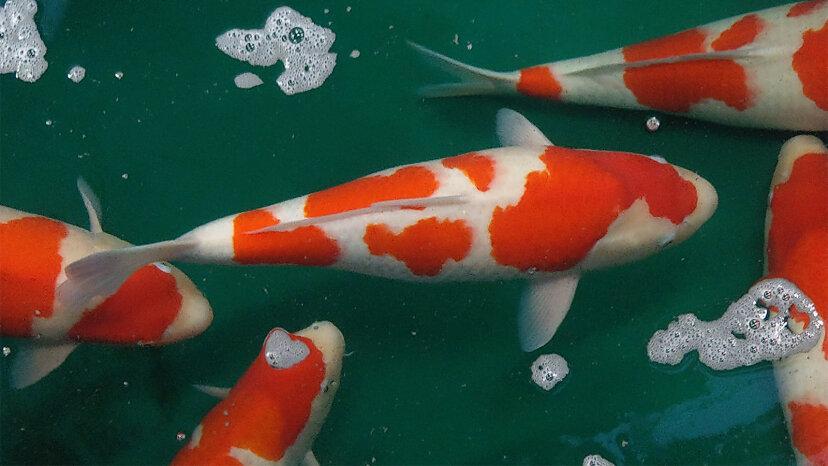 鯉:ウォーターガーデンの輝く宝石
