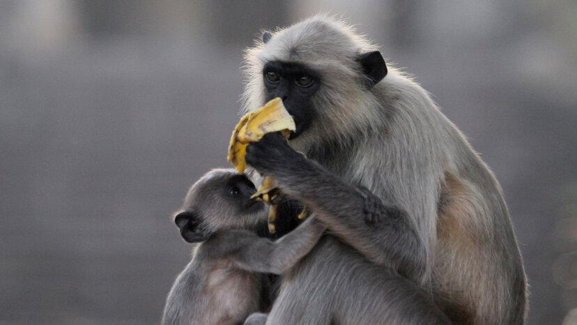 Languren sind Primaten, die es lieben, herumzuspielen