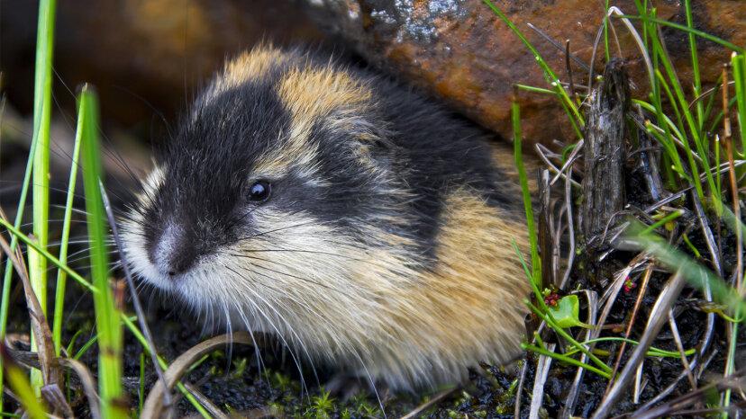 Los lemmings que saltan de los acantilados en masa es un mito