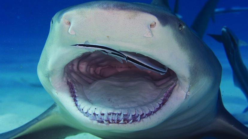 レモンザメは(比較的)フレンドリーなサメです