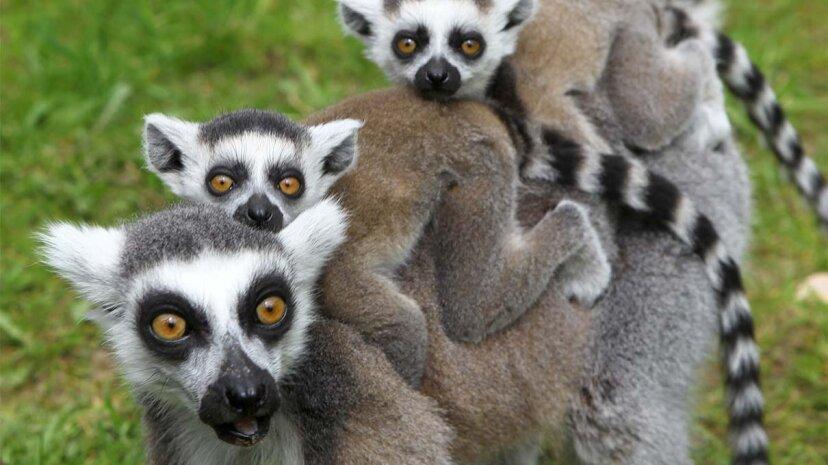 Ein intelligenter Lemur ist ein beliebter Lemur