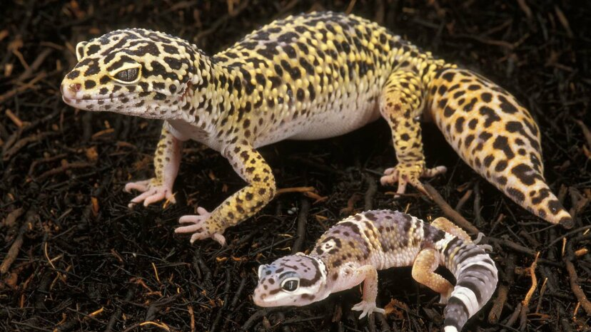 Super süße Leopardengeckos machen tolle Haustiere