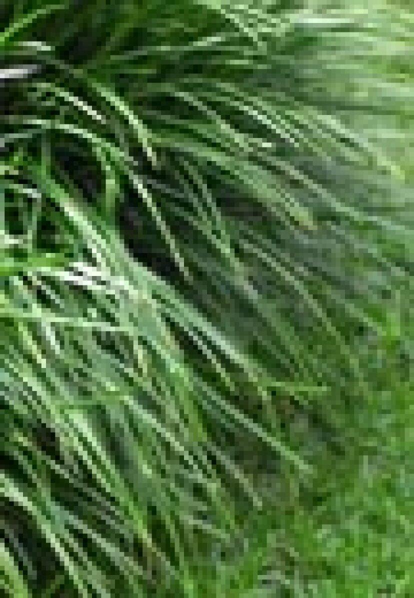 草の種は溶岩の岩の上で成長することができますか、それはソイの上で成長することができます