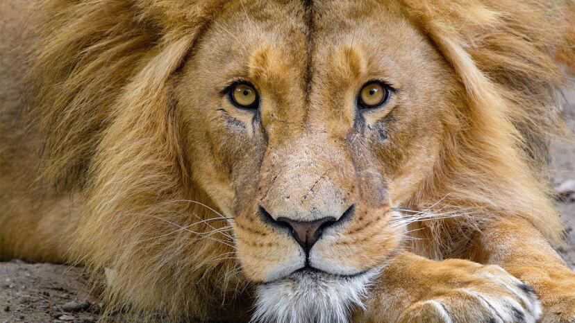 Leones: 5 hechos rugientes sobre el rey de las bestias