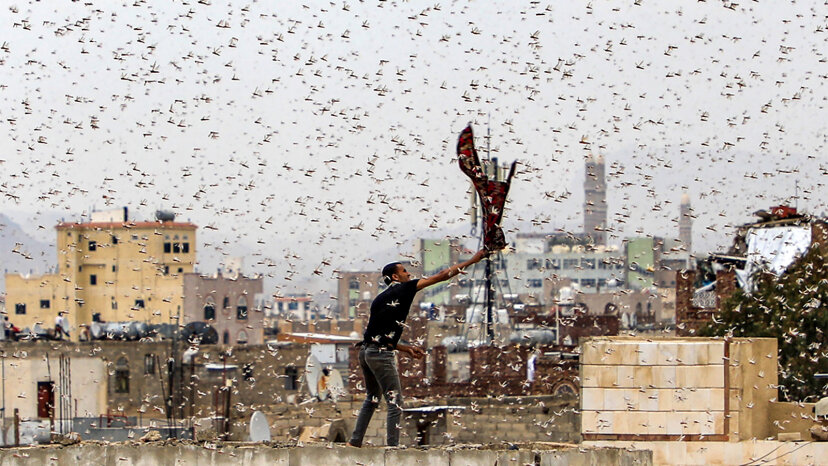 Dentro de una plaga de langostas: saltamontes del desierto enloquecidos