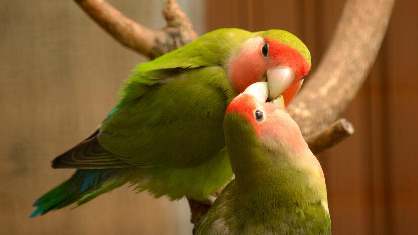 7 schöne Fakten über Lovebirds