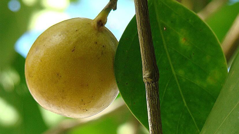 El manchineel, o 'manzana de la muerte', es el árbol más peligroso del mundo