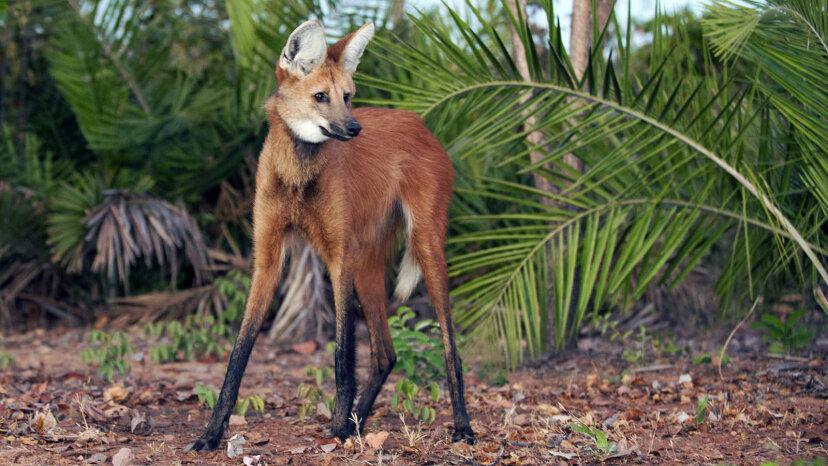 ¿Es un zorro sobre pilotes? ¡No, es un lobo de crin!
