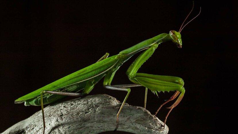 Sí, las mantis religiosas femeninas se comen a sus parejas