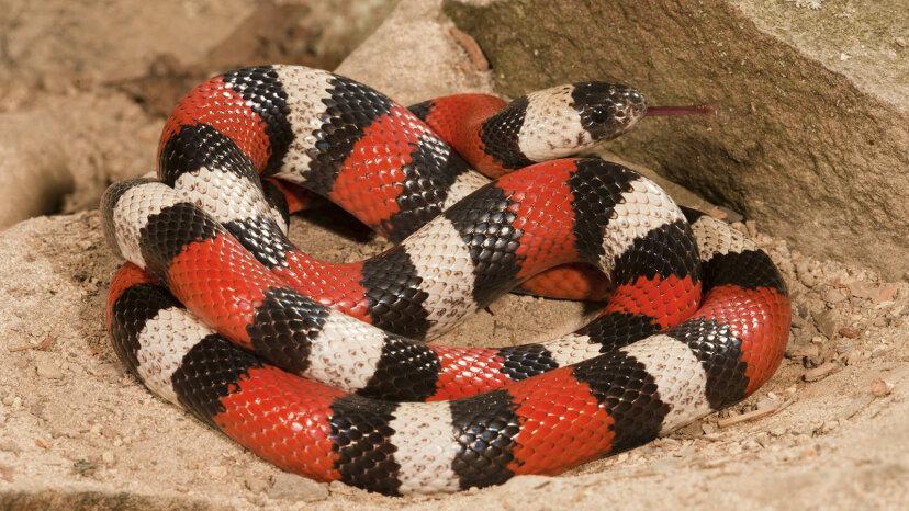Serpientes de leche: coloreadas para el peligro, pero totalmente inofensivas (¡y no lácteas!)