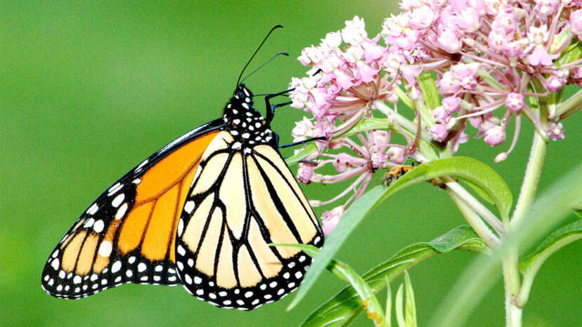 monarch, milkweed