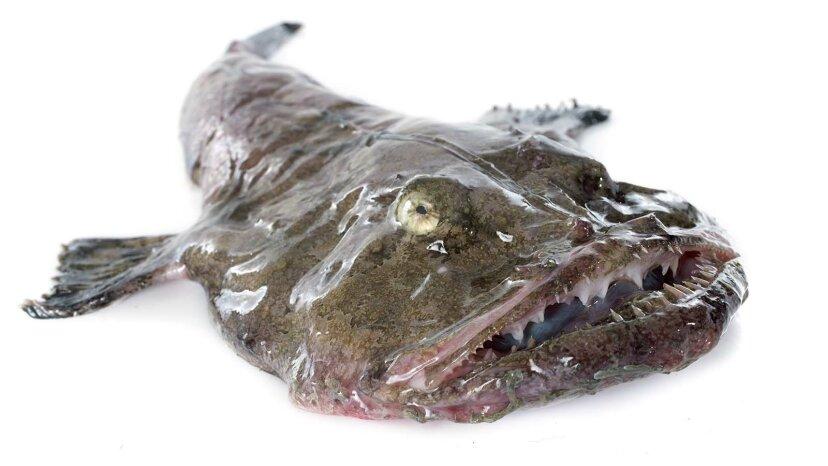 Seeteufel mögen hässlich sein, aber sie schmecken sicher köstlich