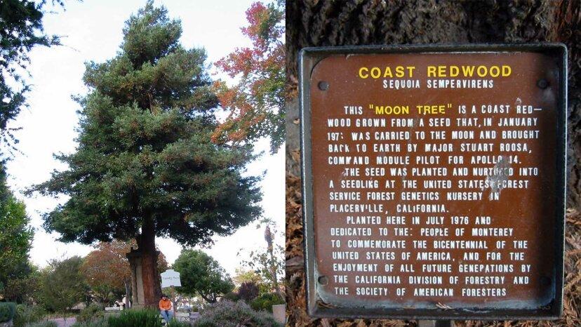 Los árboles lunares de la NASA siguen siendo un testamento del Apolo 14