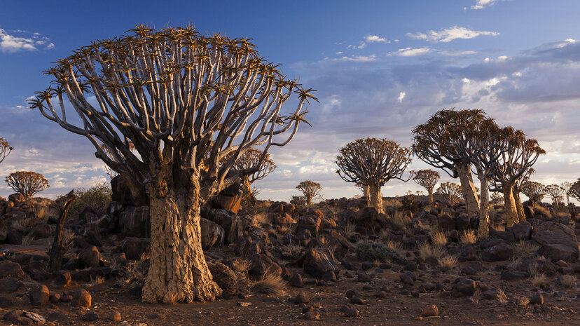 A group of quiver trees grow in a dryland forest in Namibia, Africa. JTB/UIG via Getty Images