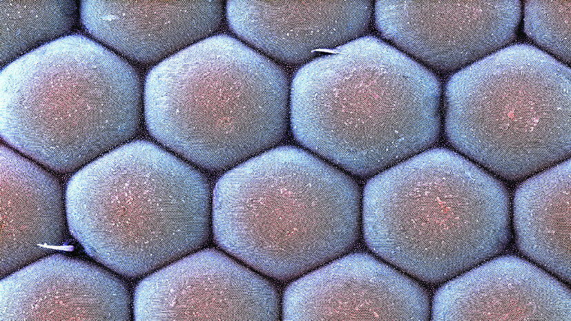 A colored scanning electron micrograph image shows the numerous ommatidia lenses that making up the surface of a moth's compound eye. Dr. David Furness, Keele University/Science Photo Library/Getty Images