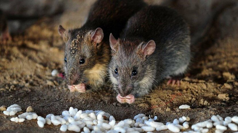 Scientists Think They Save the Galapagos With GMO Rats. What Could Go Wrong? Wochit News