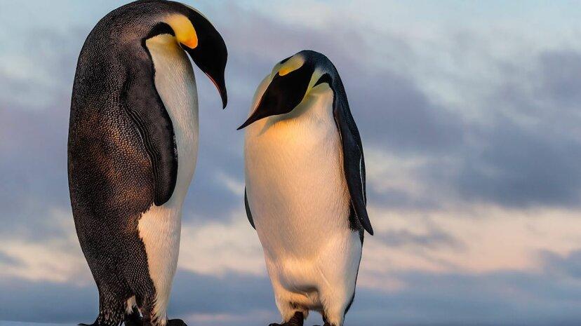 新たに発見された化石は、古代のペンギンが巨大であったことを明らかにします
