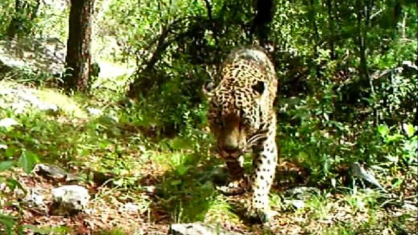 Raw: Video Shows Only Known Wild Jaguar in the U.S. AP News