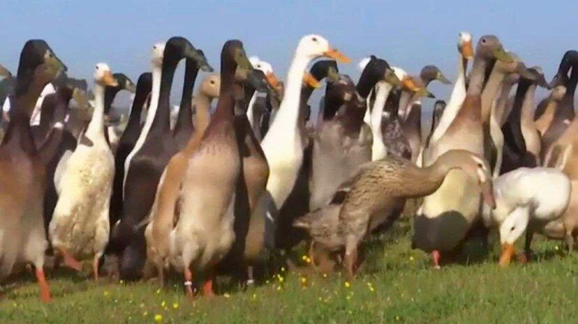 Ente, Ente, Alkohol: Vogelherden behandeln Schädlingsbekämpfung im südafrikanischen Weingut
