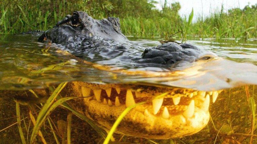 Los caimanes se remontan 6 millones de años más lejos de lo que se pensaba