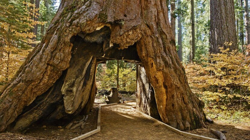 激しい冬の嵐の後、象徴的なセコイア「トンネルツリー」が倒れる
