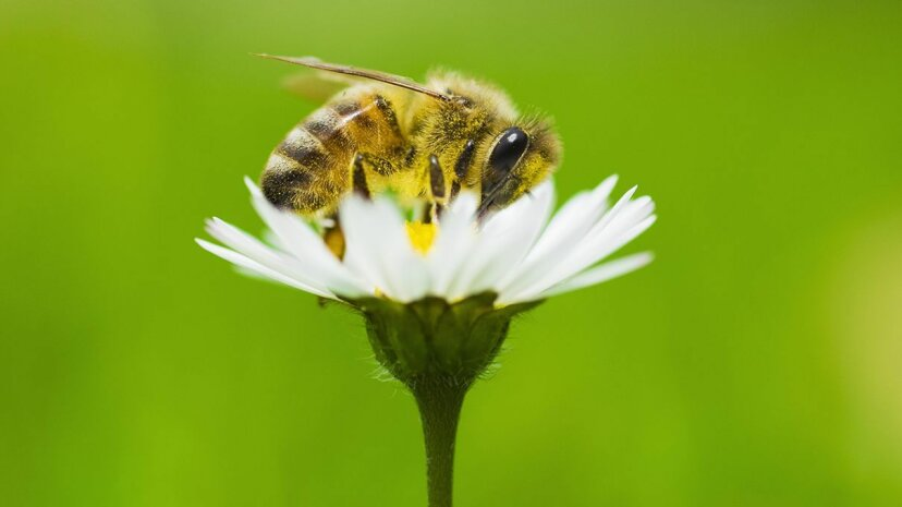Honeybees could get a bit of help with future pollinating  from robotic drones. Jason Hosking/Getty