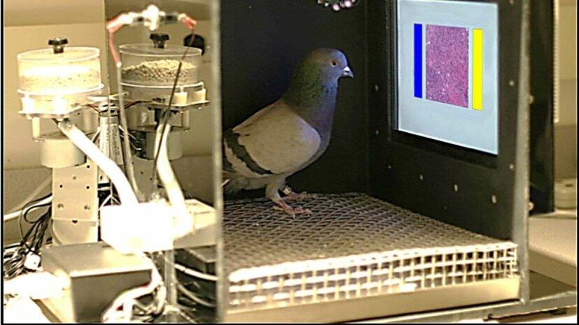 ハトにマンモグラムを実行させる必要がある理由