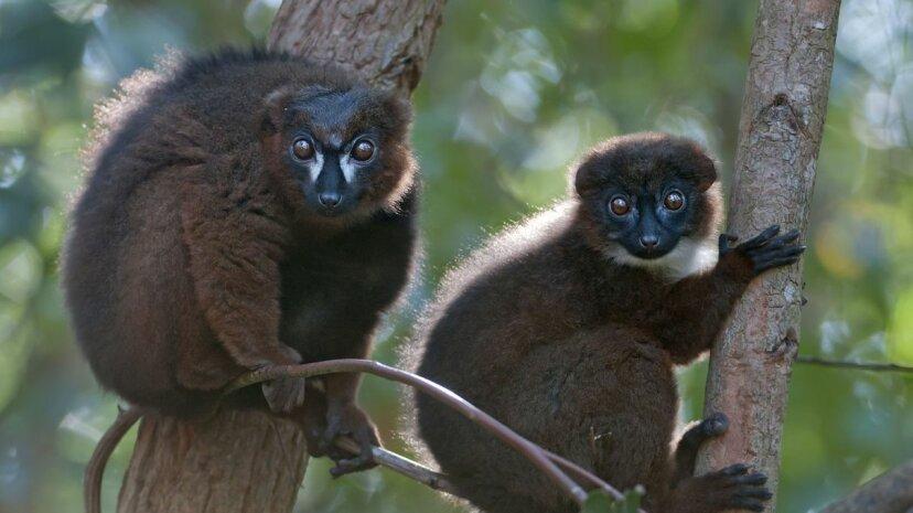 Wilde Lemuren erhalten ihre eigene Gesichtserkennungssoftware
