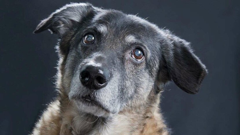 The Dog Aging Project has high hopes that the drug rapamycin can extend a dog's healthy lifespan by slowing down the aging process. Elmar Krenkel/Getty Images