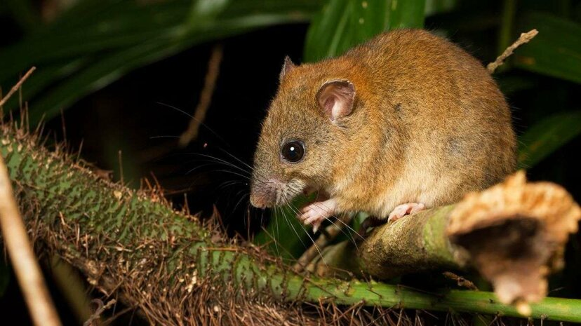 A species of melomys related to the Australian species recently thought to have gone exctinct. Cameron DeJong/Flickr/CC2.0