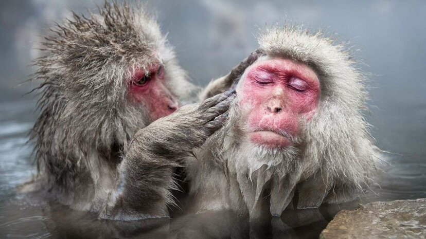 "Japanese ""snow monkey"" macaques grooming at Japan's Jigokudani Yean-Koen National Park. Ben Cranke/Getty Images"